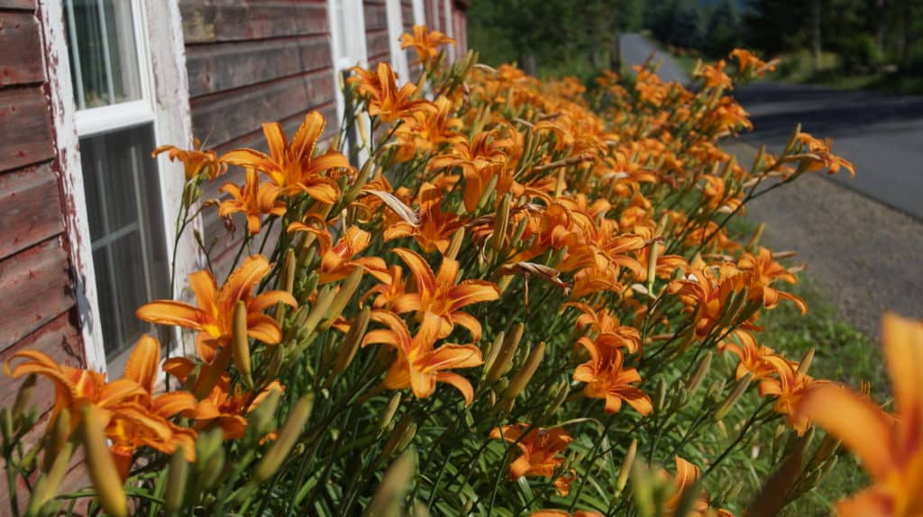 Blooming Daylilies