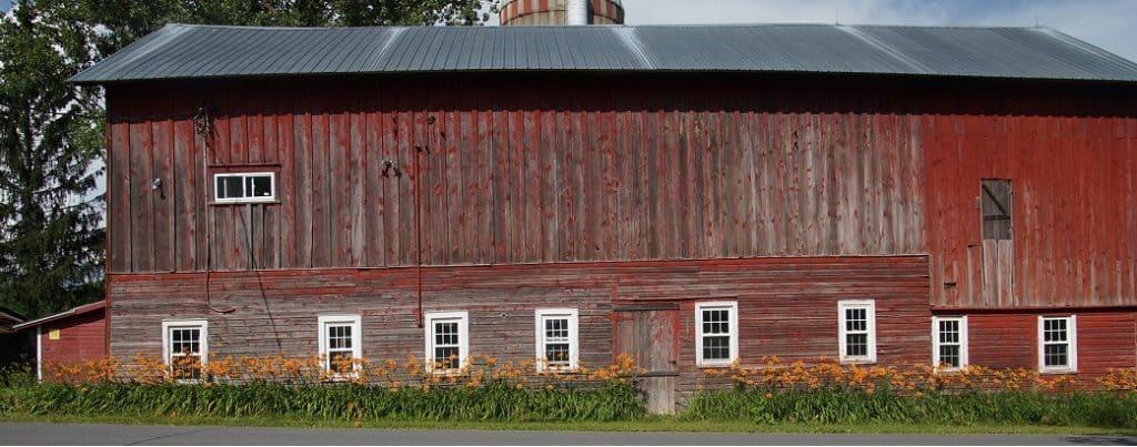 Barn and daylilies