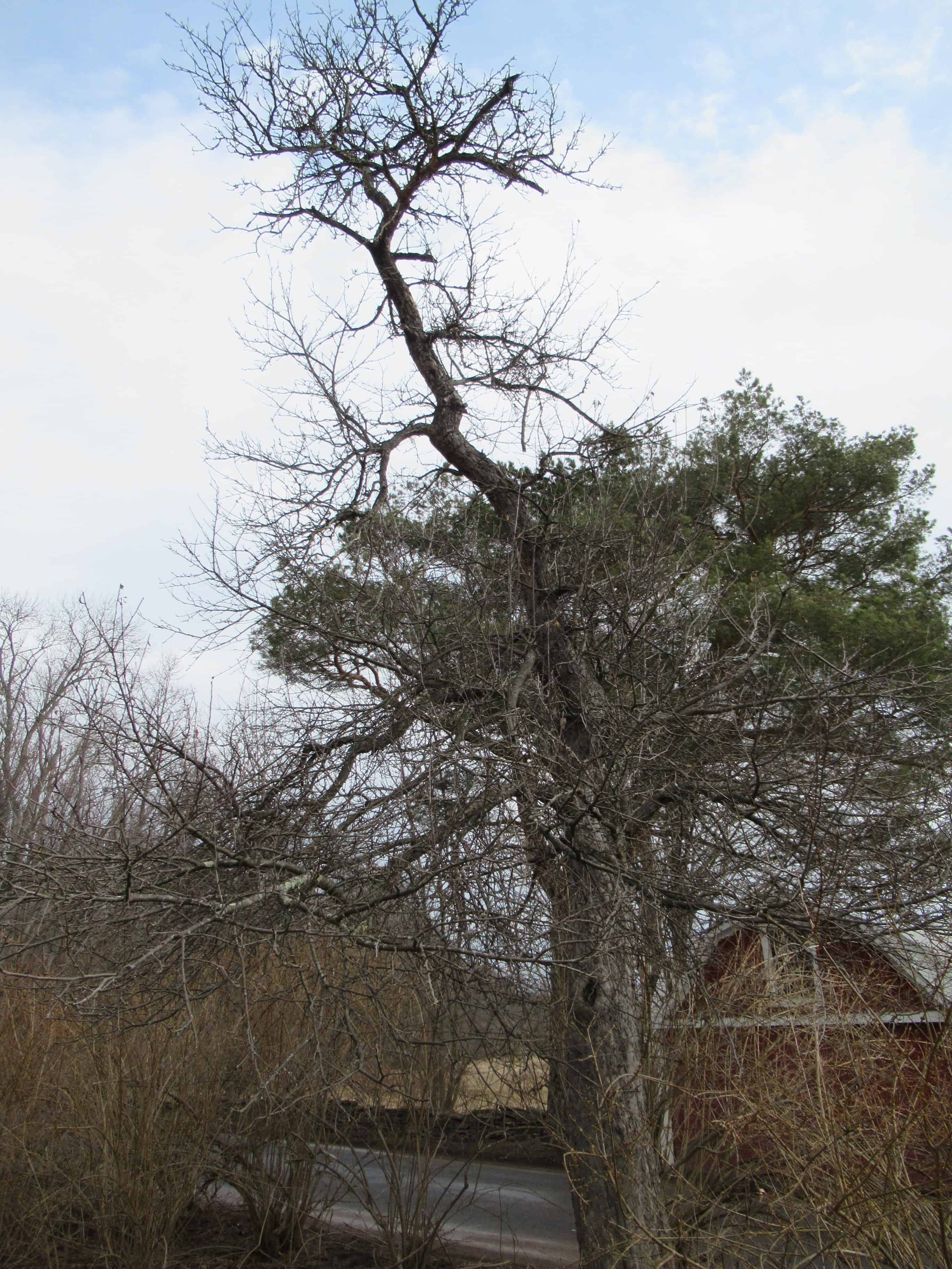 """Old scraggly apple tree - """"Dr. Seuss"""" - needs pruning"""