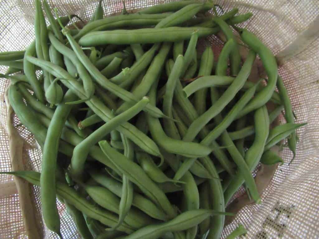 Fresh picked beans