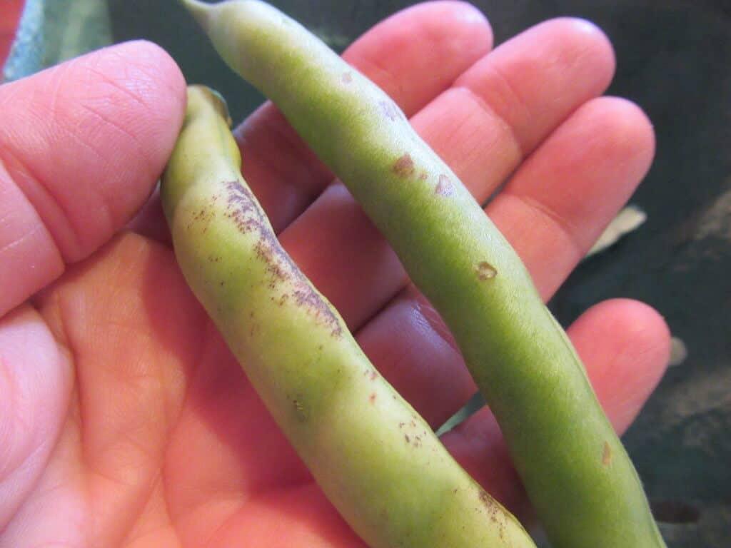 Blemished beans