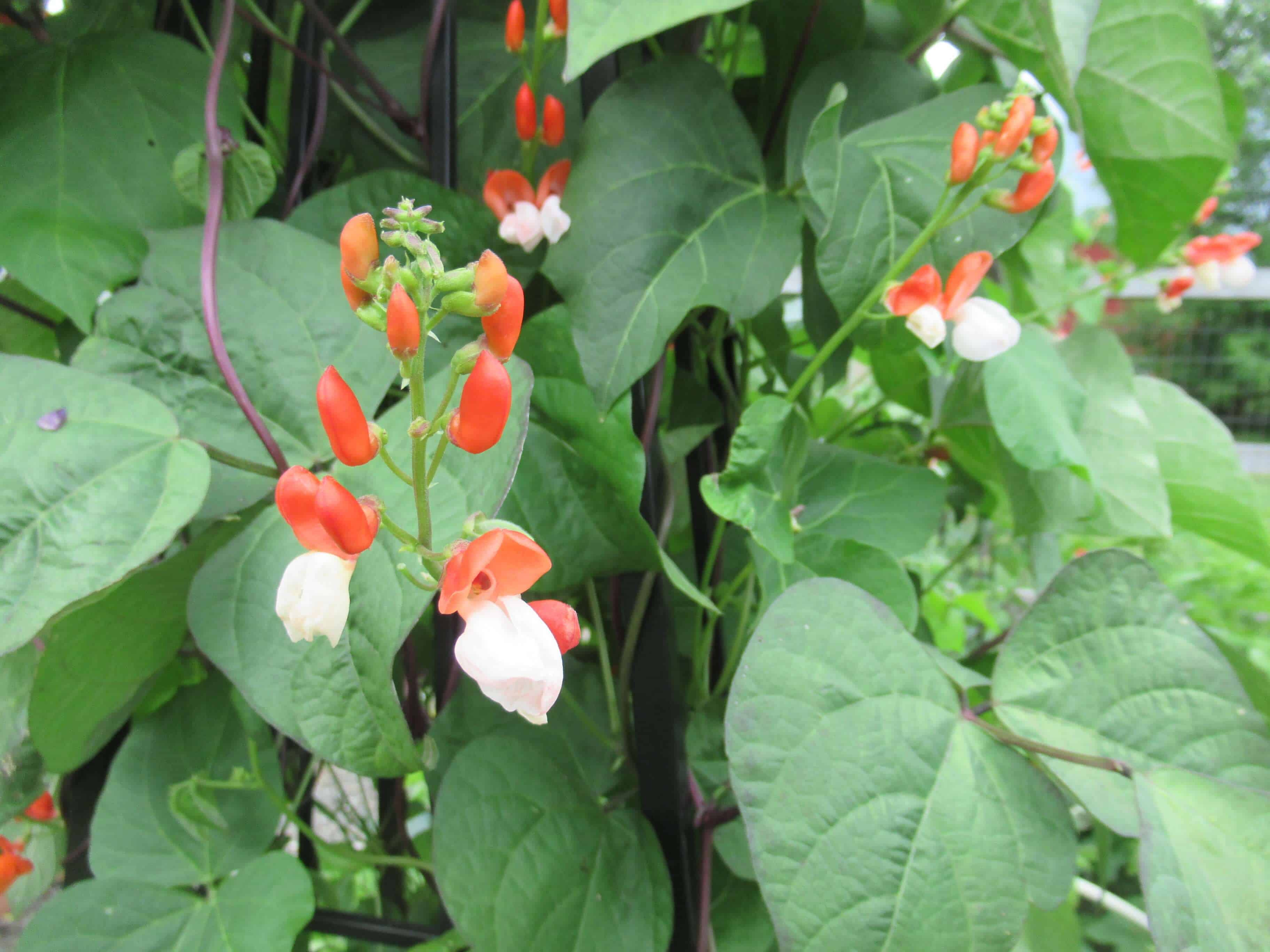 Bean plant Flowers red and white with green leaves
