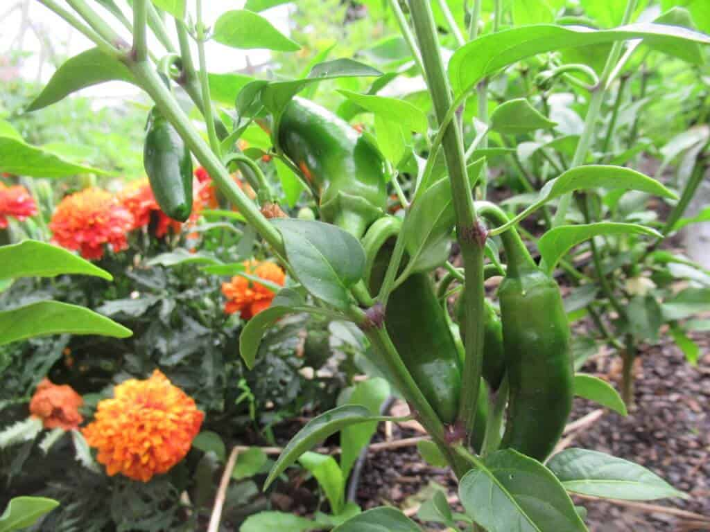 Jalapenos and marigolds