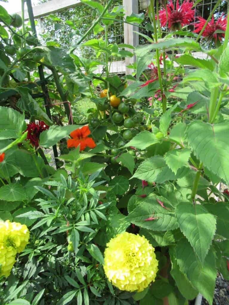yellow, orange and red flowers with small tomatoes and green leaves