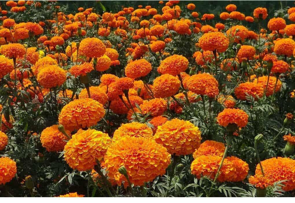 Image orange marigolds