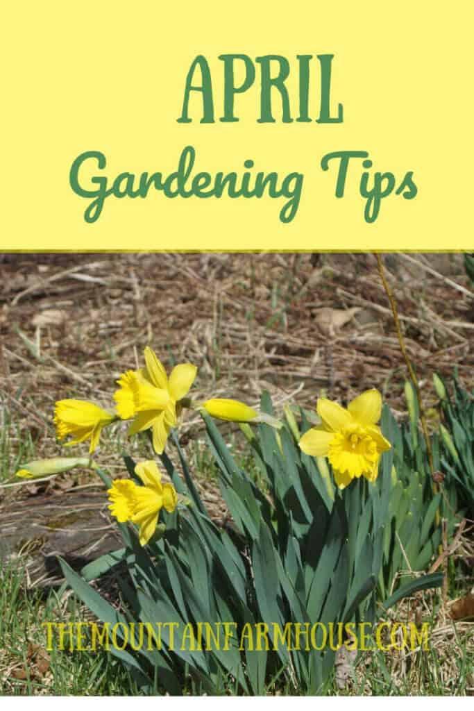 Image Daffodils April Gardening Tips