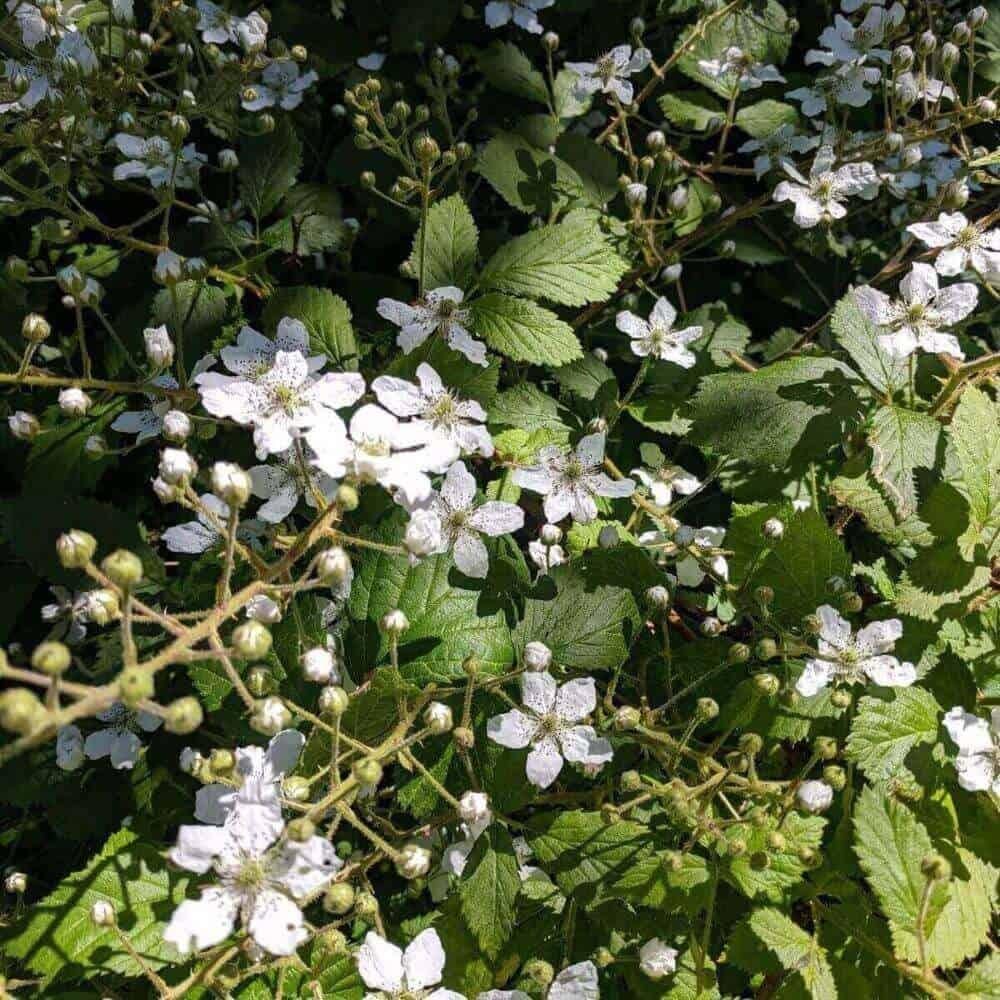 Blackberry Blossoms ready for netting