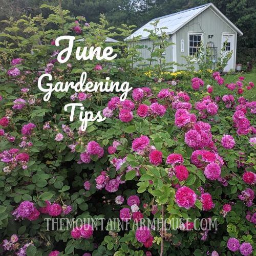 June Gardening Tips picture of roses and barn