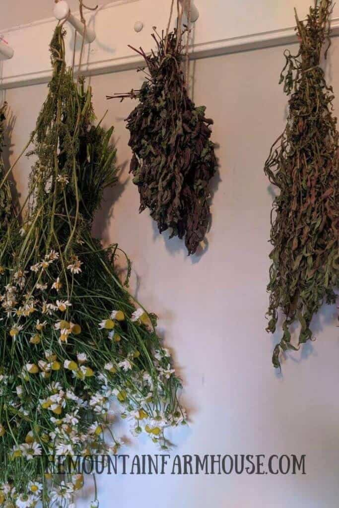 Bundles of chamomile, mint and oregano hanging to dry