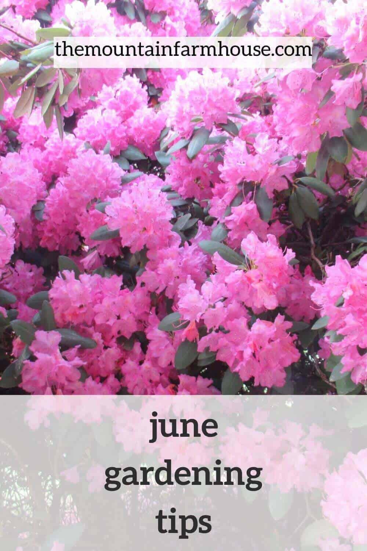 June gardening tips pin pink rhododendron