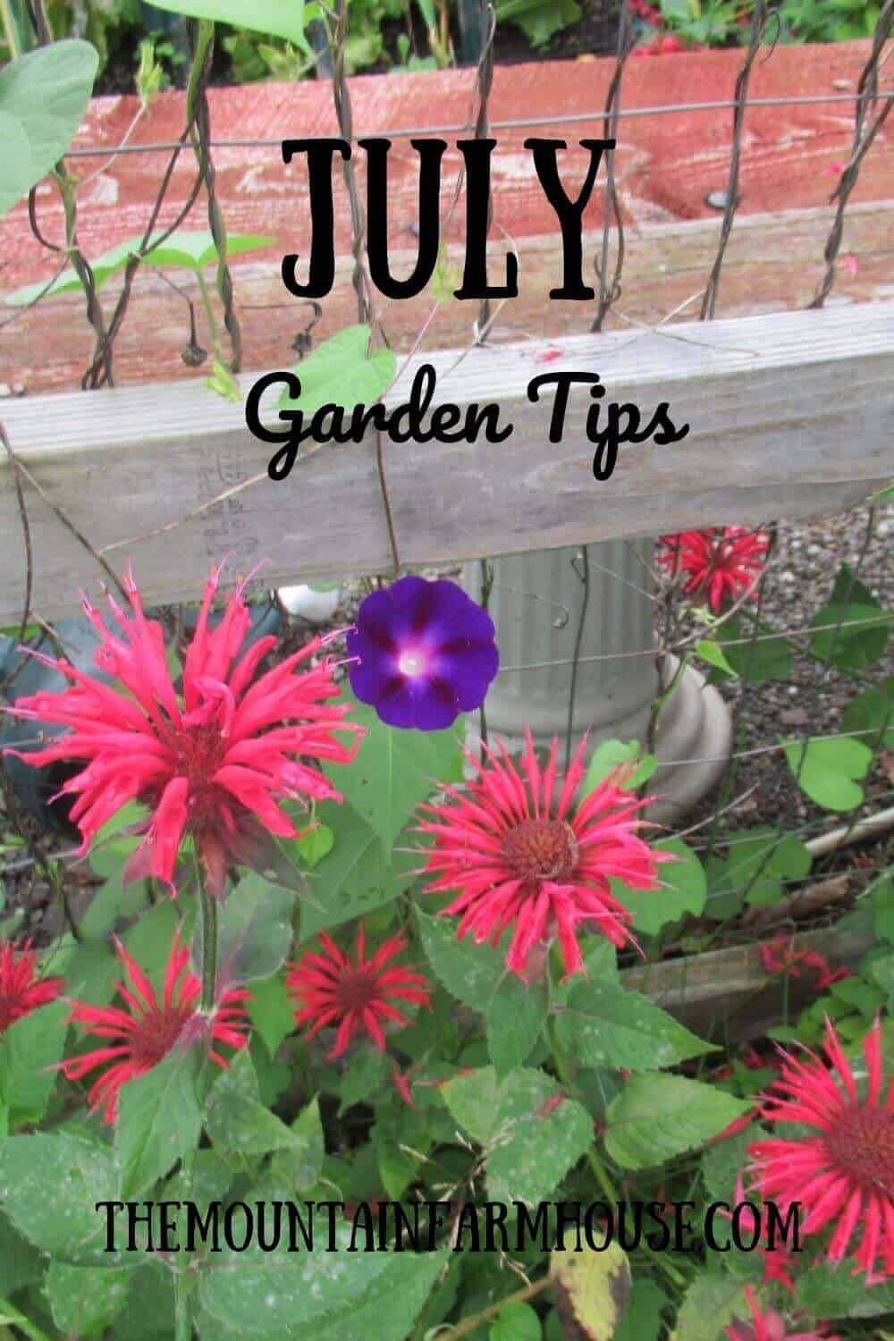 July Garden Tips Pin Bee balm and Morning glory