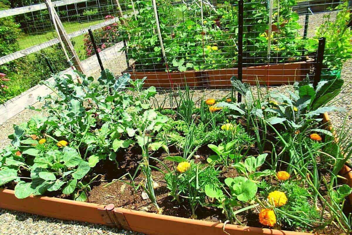 Vegetable Garden bed with Brassica plants