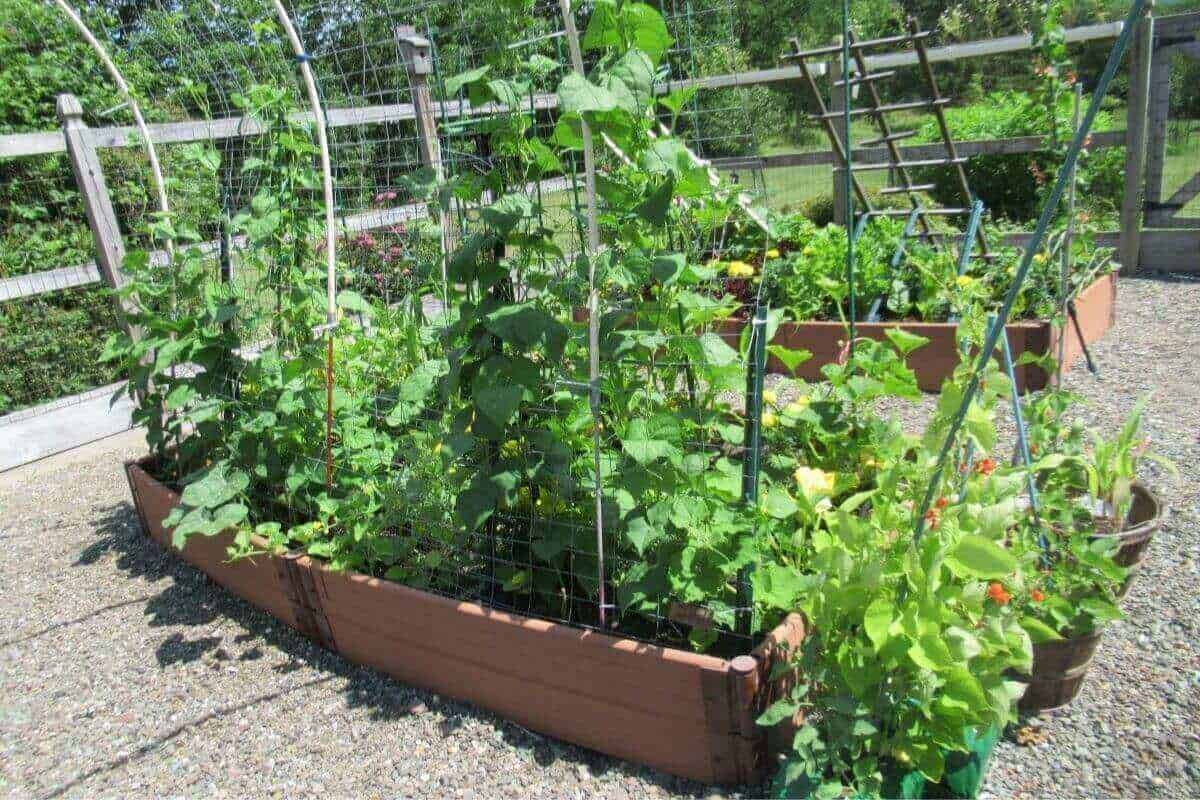 Three Sisters Vegetable Garden bed squash beans corn