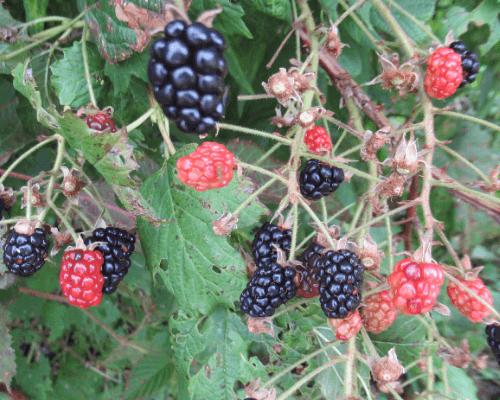 Blackberry brambles