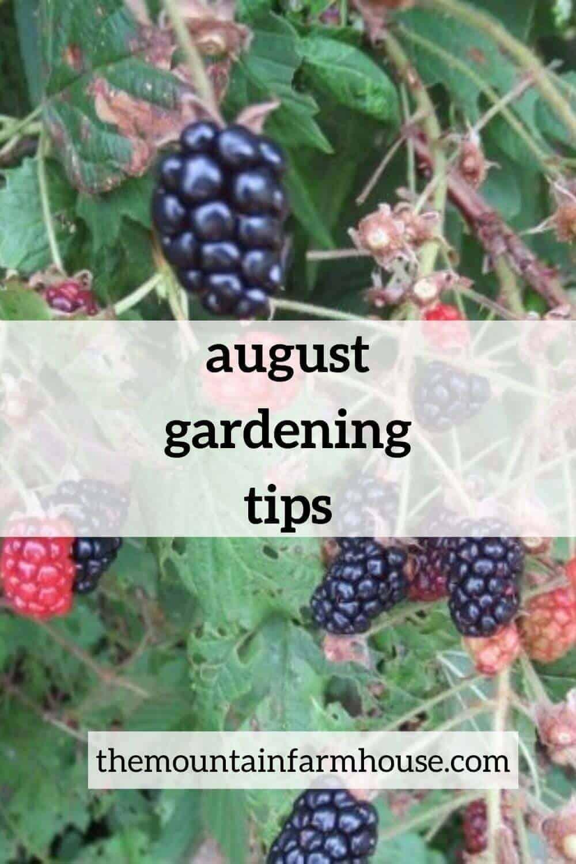 August Gardening tips pin with blackberries