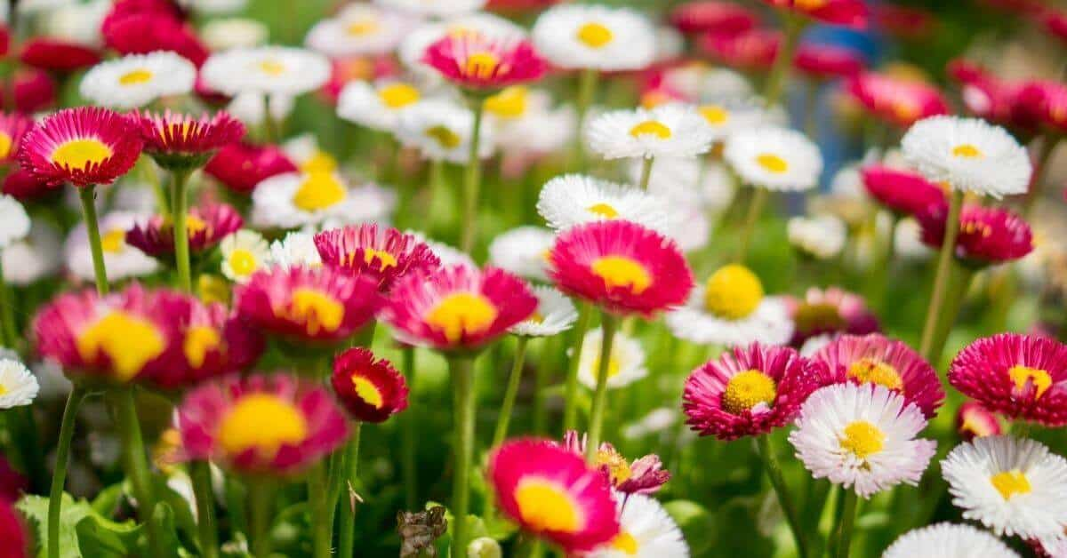 Pink, white daisies with yellow centers