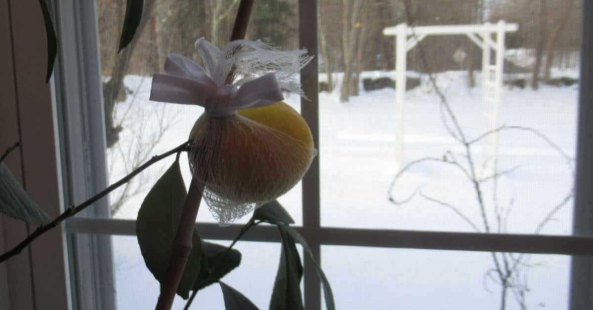 Meyer lemon houseplant