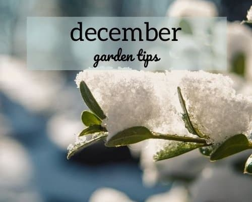 December Garden Tips picture of snowy branch