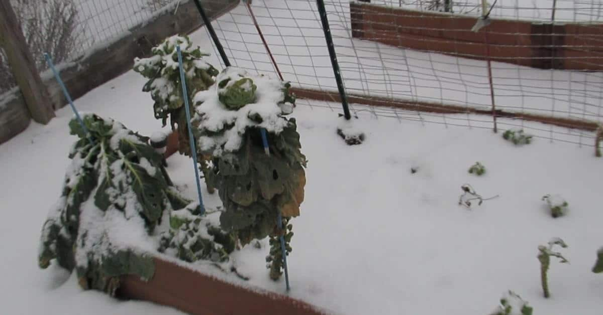January Winter Garden Brussels Sprouts covered in snow