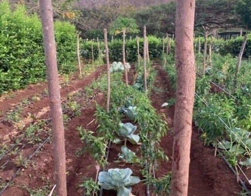 Vegetable garden- cabbage, fence poles, mountain