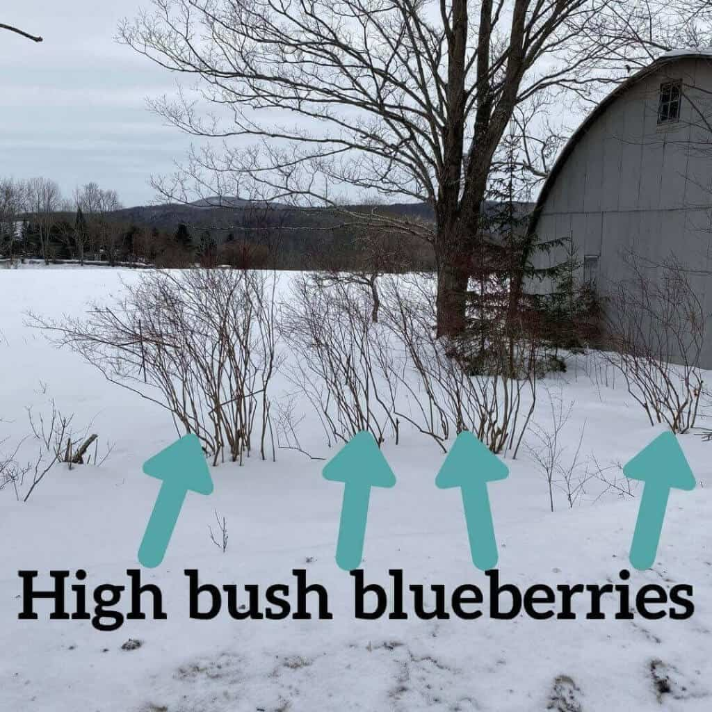HighBush Blueberry plants in snow with trees and quonset