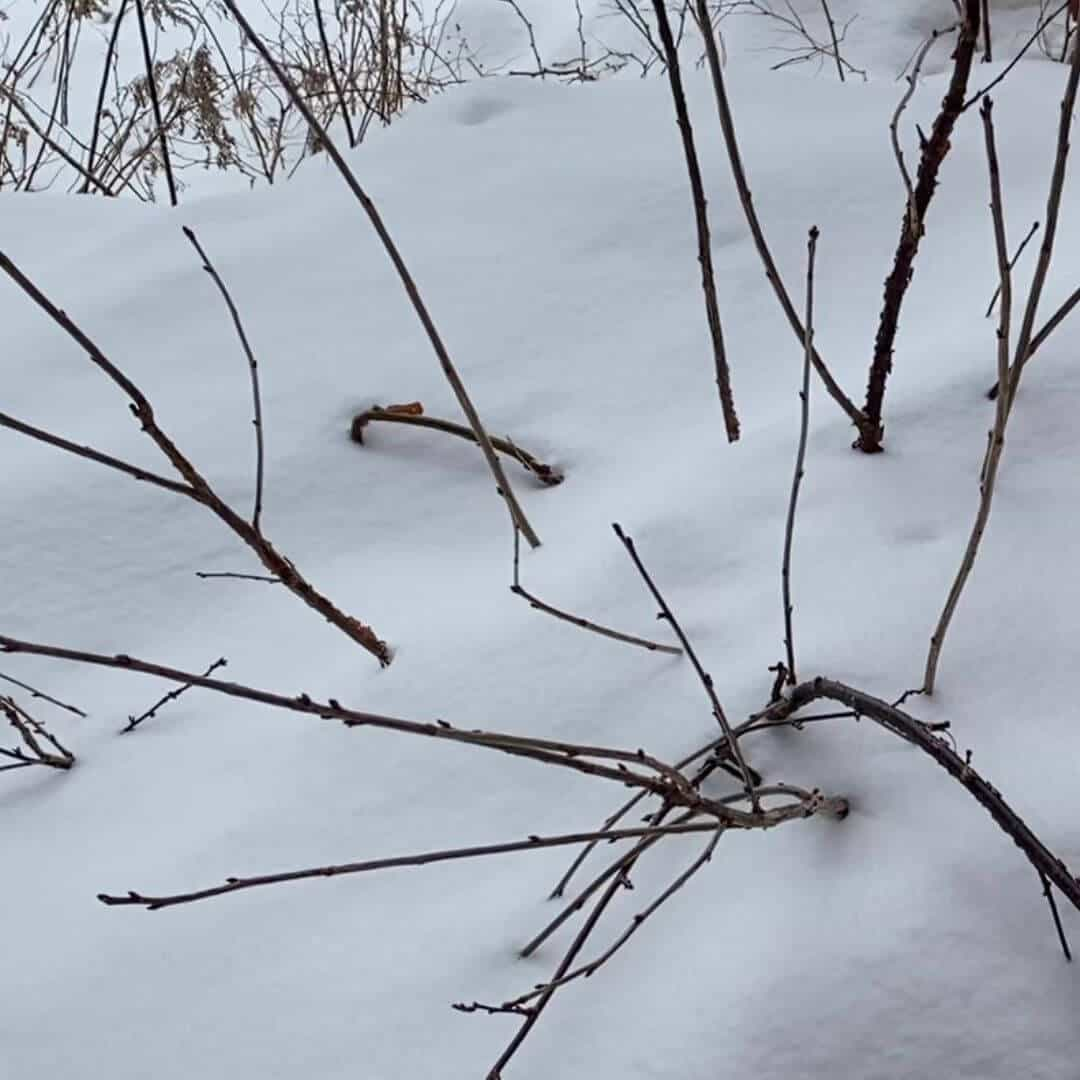 Red currant plant in snow