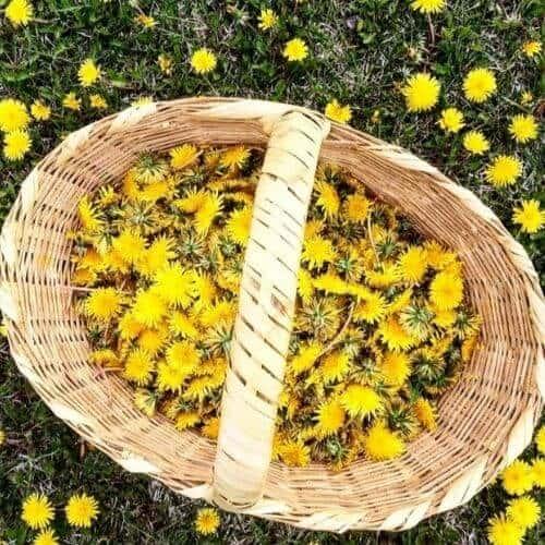 Dandelion flowers in a basket